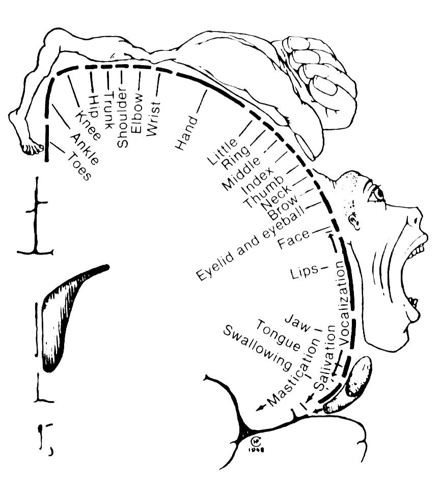 Abb. 1: Der ›Penfield-Homunkulus‹ zeigt die Größe von                             Körperteilen in Abhängigkeit von der Größe ihrer Repräsentation im menschlichen                             Gehirn. [Penfield / Rasmussen 1950, S. 44]